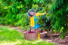 Bambina che seleziona ciliegia fresca su un'azienda agricola Fotografia Stock