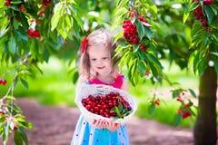 Bambina che seleziona ciliegia fresca su un'azienda agricola Immagini Stock Libere da Diritti