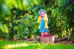 Bambina che seleziona ciliegia fresca su un'azienda agricola Immagine Stock