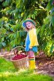 Bambina che seleziona ciliegia fresca su un'azienda agricola Fotografia Stock Libera da Diritti