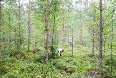 Bambina che seleziona i mirtilli nella foresta di estate fotografia stock libera da diritti