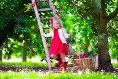 Bambina che seleziona la bacca fresca della ciliegia nel giardino Fotografie Stock Libere da Diritti