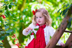 Bambina che seleziona la bacca fresca della ciliegia nel giardino Fotografia Stock