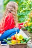 Bambina in serra con il canestro pieno di tempo di raccolto di raccogliere grande canestro in pieno delle verdure Immagini Stock