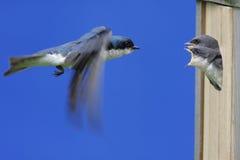 Bambini d'alimentazione dello Swallow di albero Immagini Stock Libere da Diritti