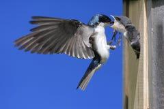 Bambini d'alimentazione dello Swallow di albero Fotografie Stock
