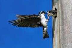 Bambini d'alimentazione dello Swallow di albero Fotografia Stock Libera da Diritti