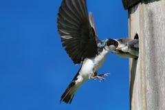 Bambini d'alimentazione dello Swallow di albero Fotografie Stock Libere da Diritti