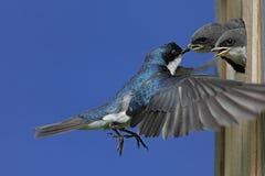 Bambini d'alimentazione dello Swallow di albero Fotografia Stock