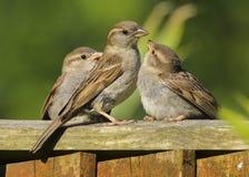 Bambini d'alimentazione femminili adulti del passero di un domesticus del passante immagine stock libera da diritti