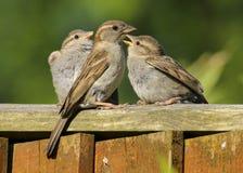 Bambini d'alimentazione femminili adulti del passero di un domesticus del passante fotografia stock libera da diritti