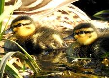 Bambini degli anatroccoli dell'anatra selvatica che nuotano Fotografia Stock Libera da Diritti