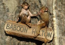 Bambini del babbuino di Hamadryas ad uno zoo in Svezia immagini stock libere da diritti