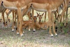 Bambini del Impala fotografia stock libera da diritti