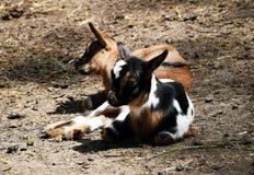 Bambini del ` s della capra Fotografie Stock