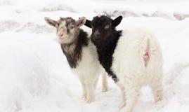 Bambini della capra Fotografie Stock