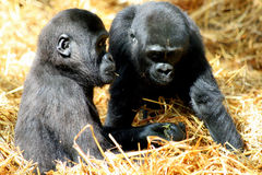 Bambini della gorilla Fotografia Stock