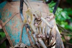 Bambini della scimmia di macaco del Toque che giocano sul carrello della costruzione Immagini Stock Libere da Diritti