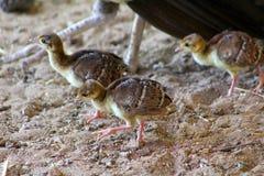 Bambini di pavoni femmina Fotografia Stock