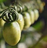 Bambini verdi del pomodoro nel giardino immagine stock