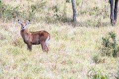 Bambino africano dell'antilope - bambino del bush-buck Fotografie Stock Libere da Diritti