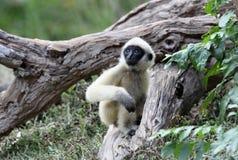 Bambino bianco del Gibbon di Cheeked Fotografia Stock Libera da Diritti