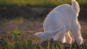 Bambino bianco della capra su un prato Il concetto di latte di capra e dell'allevamento bestiame stock footage
