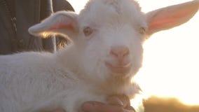Bambino bianco della capra su un prato Il concetto di latte di capra e dell'allevamento bestiame archivi video