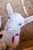 Bambino-capra Fotografia Stock Libera da Diritti