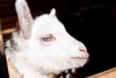 Bambino-capra Fotografia Stock