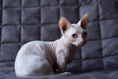 Bambino cat Royalty Free Stock Photos