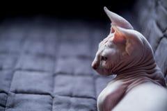 Bambino cat Stock Image