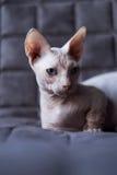 Bambino cat stock images