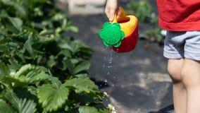 Bambino che innaffia un cespuglio di fragola da un annaffiatoio rosso-giallo La foto mostra le mani di un bambino, nessun fronte  immagine stock