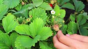 Bambino che mangia le bacche fresche del giardino video d archivio