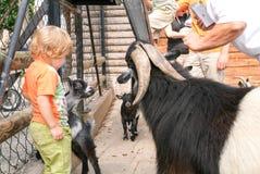 Bambino che picchietta la capra allo zoo di Goldau in Svizzera Fotografia Stock