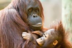 Bambino d'alimentazione dell'orangutan femminile Fotografia Stock Libera da Diritti