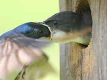 Bambino d'alimentazione maschio dello Swallow di albero fotografia stock libera da diritti