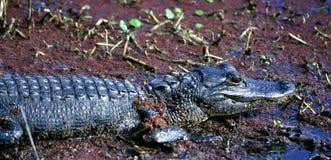 Bambino del coccodrillo americano in una palude Immagini Stock Libere da Diritti