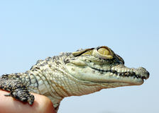 Bambino del coccodrillo del Nilo Fotografia Stock