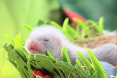 Bambino del furetto nel nido di fieno Fotografie Stock Libere da Diritti