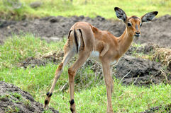 Bambino del Impala Fotografia Stock
