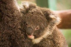 Bambino del Koala Fotografie Stock Libere da Diritti