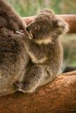 Bambino del Koala fotografia stock