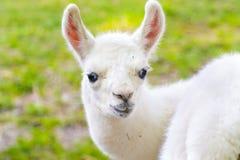 Bambino del lama (lama glama) Immagini Stock Libere da Diritti
