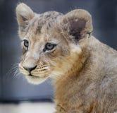 Bambino del leone Fotografia Stock