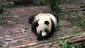 Bambino del panda gigante video d archivio