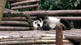 Bambino del panda gigante archivi video