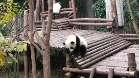 Bambino del panda gigante stock footage