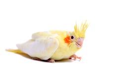 Bambino del parrocchetto del Cockatiel su bianco Fotografia Stock Libera da Diritti
